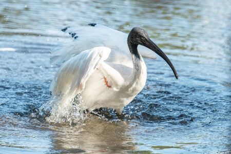 Australian White ibis also known as Threskiornis Moluccus. Banco de Imagens