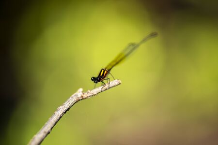 Orange threadtail damselfly also known as Nososticta solida. 写真素材