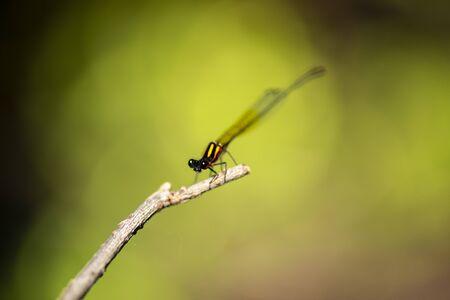 Orange threadtail damselfly also known as Nososticta solida. Banco de Imagens
