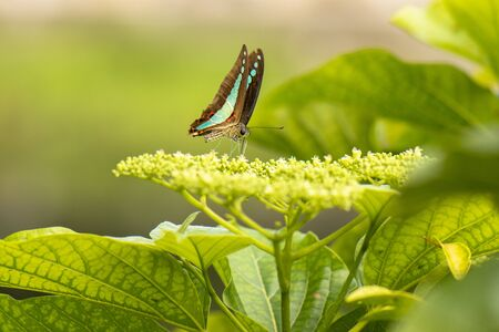 Blue Triangle Butterfly also known as Graphium sarpedon