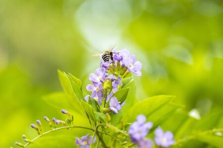 Blue-banded Bee also known as Amegilla cingulata. 写真素材