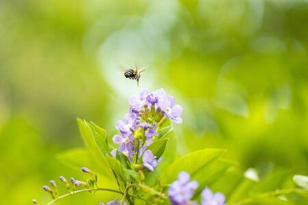 Blue-banded Bee also known as Amegilla cingulata. Banco de Imagens