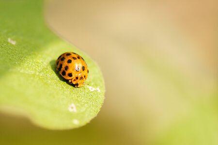 Orange Ladybug also known as Halyzia sedecimguttata.