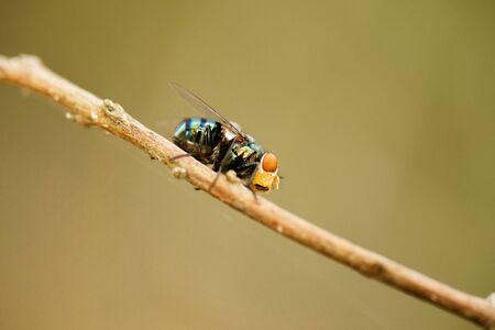 Australian Golden Bluebottle Blowfly also known as Chrysomya incisuralis.