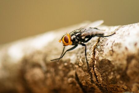 Australian Bush Fly also known as the Musca vetustissima. 写真素材
