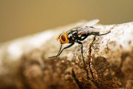 Australian Bush Fly also known as the Musca vetustissima. Banco de Imagens