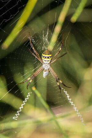 Saint Andrews Cross spider also known as Argiope keyserlingi. 写真素材
