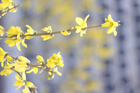 Forsythia flowers in front of a wall pattern
