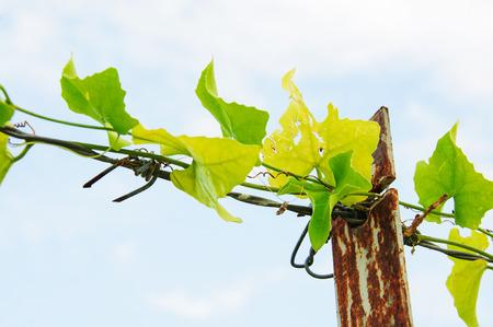 Ivy ocultar las espigas fuertes de alambre de p?a Foto de archivo