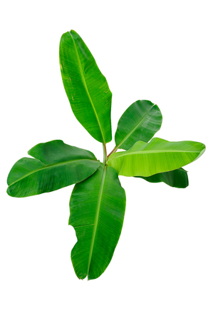banana leaf: banana trees that have large leaves.