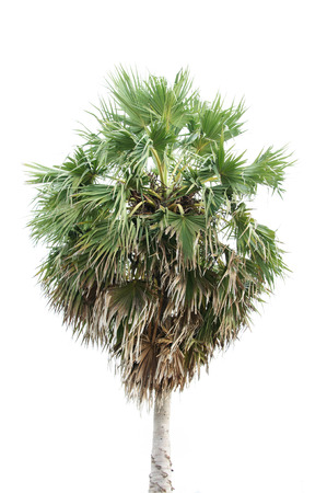 cambodian palm: Borassus flabellifer, known by several common names, including Asian Palmyra palm, Toddy palm, Sugar palm, or Cambodian palm Stock Photo