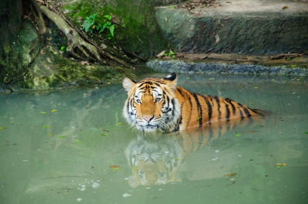 Siberian Tigers in water photo