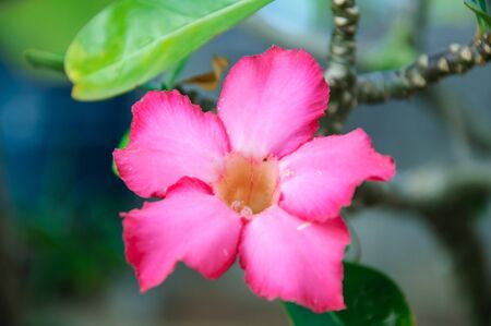 Beautiful floral background. Tropical flower Pink Adenium. Desert rose. photo