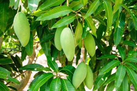 mangoes on mango tree photo