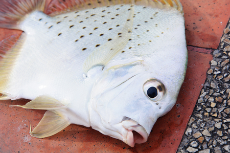 White Pomfret Stock Photo - 23837359