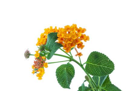 lantana camara: flower Lantana camara isolated