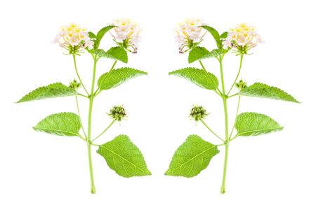 lantana: flower Lantana camara isolated