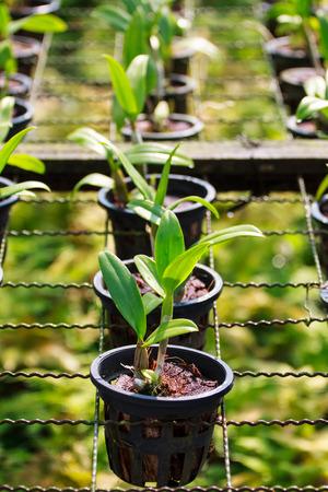 orchid tree: �rbol de orqu�dea en el jard�n de orqu�deas Foto de archivo