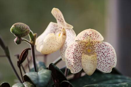 lady's slipper: Ladys Slipper orchid
