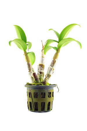 orchid tree: aislado �rbol orqu�dea Foto de archivo