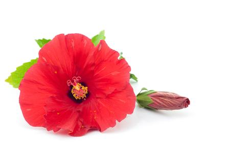 Flor del hibisco aislado Foto de archivo