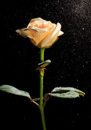 rose in water splashes on black background. photo