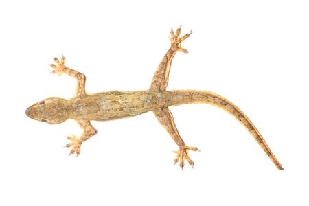 lagartija: macro de lagarto aislado.