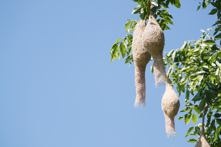 weaver bird nest: Baya weaver bird nest at a branch of the tree with blue sky