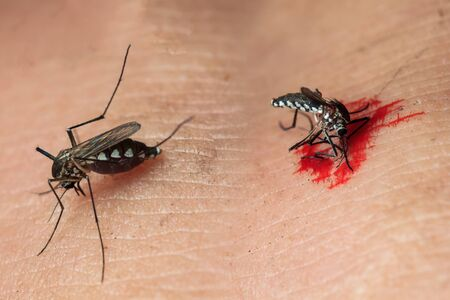 sucking: Close-up of a mosquito sucking blood