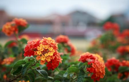 lantana: flower Lantana camara Stock Photo