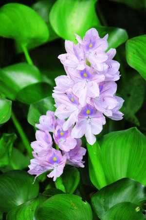Hyacinth flowers  Stock Photo