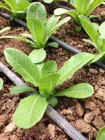 goteros: Los vegetales verdes con goteros