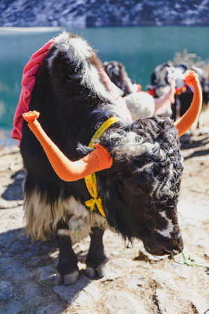 Tibetan black color head and body fur yak with saddle for ride stand on the concrete road in winter in Tashi Delek near Gangtok. North Sikkim, India Stock Photo
