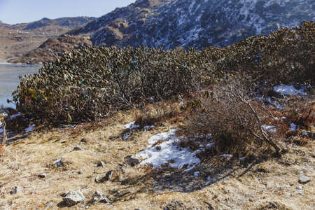 Green shrub with snow on yellow dry clay with blue mountain in the background in winter in Tashi Delek near Gangtok. North Sikkim, India