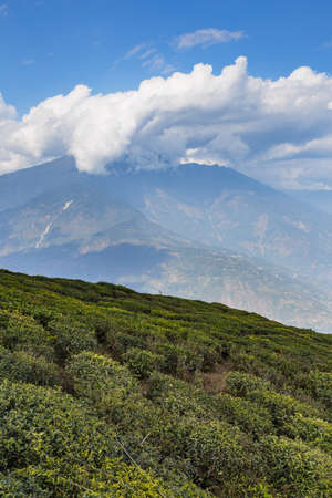 Temi Tea Garden with mountain and enormous cloud in the background in winter near Gangtok. Sikkim, India.