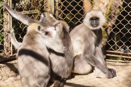 Black Faced Langur Monkeys in the cage in Padmaja Naidu Himalayan Zoological Park at Darjeeling, India. Stock Photo