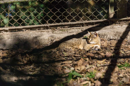 Wildcat sleep on the ground in the cage in Padmaja Naidu Himalayan Zoological Park at Darjeeling, India. Stock Photo