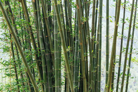 Close up live bamboo in the morning in summer at Cat Cat Village in Sa Pa, Vietnam.
