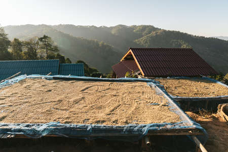 Sun dried Arabica coffee beans on wooden board with blue net with villager house roof and mountain in background in the Akha village of Maejantai on the hill in Chiang Mai, Thailand.