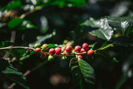 Green and Red Arabica coffee berries from coffee tree in the Akha village of Maejantai on the hill in Chiang Mai, Thailand. Standard-Bild - 122497367