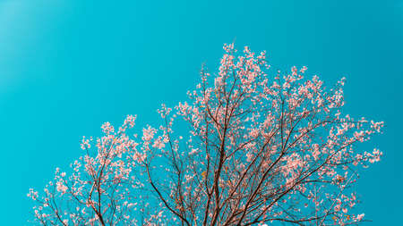 Blooming Prunus cerasoides pink flowers on the tree with blue sky background in the Akha village of Maejantai on the hill in Chiang Mai, Thailand. Seasonal nature change, Winter is coming. Stock Photo