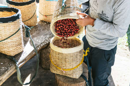 Farmer pouring hand picked ripe Red Arabica Coffee Berries in another basket in the Akha village of Maejantai on the hill in Chiang Mai, Thailand.