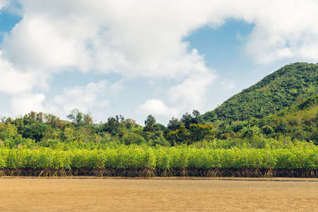 Landscape of low tide with green mountain, cloud sky in background and mangrove forest on foothill at Toong Pronge Bay in Chon Buri, Sattahip District, Thailand.