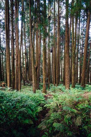 Japanese Cedar and Cypress trees in the forest in Alishan National Forest Recreation Area in Chiayi County, Alishan Township, Taiwan.