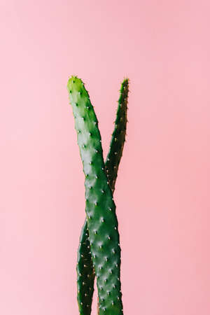 Close-up detail of flat and long green cactus on a pink background. Minimal decoration plant on color background with copy space. Joyful color and stylish summer fine art for print and web design. 免版税图像