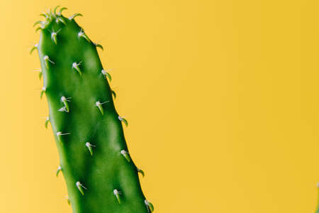 Close-up detail of flat and long green cactus on a yellow background. Minimal decoration plant on color background with copy space. Joyful color and stylish summer fine art for print and web design.