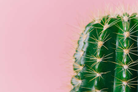 Close-up green cactus on a pink background. Minimal decoration plant on color background with copy space. Joyful color and stylish summer fine art for print and web design. 免版税图像