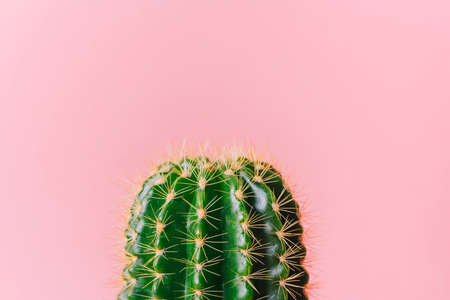 Close-up green cactus on a pink background. Minimal decoration plant on color background with copy space. Joyful color and stylish summer fine art for print and web design. 版權商用圖片
