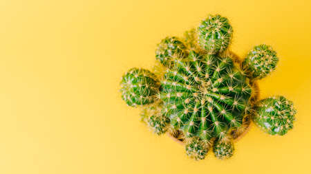 Top view of green cactus on yellow background. Minimal decoration plant on color background with copy space.
