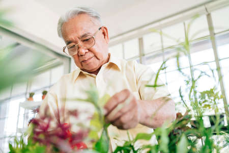 Close-up an Asian retired grandfather loves to take care of the plants in an indoor garden in the house with a smile and happiness. Retirement activities. Reklamní fotografie